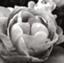 lotus-lotsu