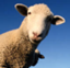 id:merino_sheep
