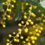 mimosa6