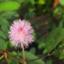 id:mimosapudicaseeds