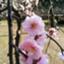 id:miyabi-rose