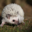 id:nameless_hedgehog