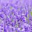 id:new-lavender