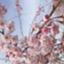 id:niwano-sakura
