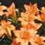 id:orange_lily27