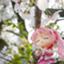 otoha_shiine