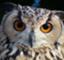 owl-mukku