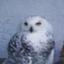 owl826