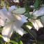 paeonialactiflora