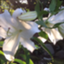 id:paeonialactiflora