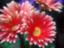 id:peach-garnet