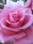 peach-rose-magenta
