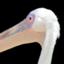 pelikan_oic