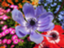 id:peony-anemone