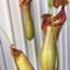 pitcherplant