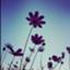 pomme_dambre