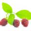 id:raspberryleaf