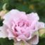 rosariums