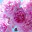 rose-saty