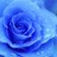 rose0502
