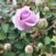rose5tage