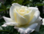 id:rose_in_makino