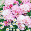 id:roseflower