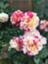 id:rosegarden2017