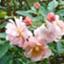 id:rosehiro18