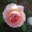 roselatte