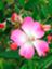 rosemarie33flora