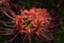 id:sae-n-roses