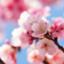 id:sakura-survive
