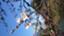 id:sakurafubukimau