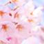id:sakuranbochang