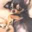 id:sally-chihuahua