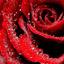 stray-rose