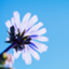 sun-flower8