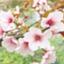 id:tarot-sakura