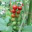 id:tomato_1