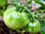 tomatoesnasu