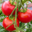 tomatooji