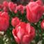 tulip_51