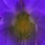 violet330