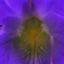 id:violet330