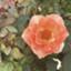 weekly-salariedman-rose