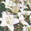 id:white-lily6u6