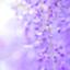 wisteria-gn