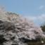 yumesakurahappy