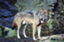 zenryokuwolf